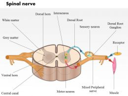 0514 A Typical Spinal Nerve With A Cross Section Of The Spinal Cord Medical Images For PowerPoint