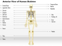 0514 Anterior View Of The Human Skeleton Medical Images For Powerpoint