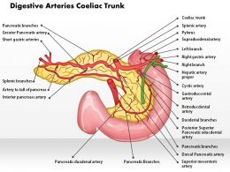 0514 Digestive Arteries Celiac Trunk Medical Images For PowerPoint