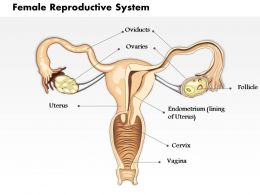 0514 Female Reproductive System Medical Images For PowerPoint