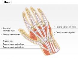 0514_hand_dorsal_medical_images_for_powerpoint_Slide01 musculoskeletal system medical images illustrations vector for