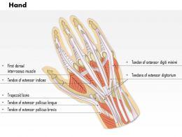 0514_hand_dorsal_medical_images_for_powerpoint_Slide01 musculoskeletal system medical images illustrations vector for