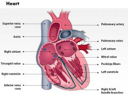 0514 Heart Anatomy Medical Images For PowerPoint