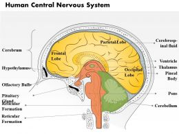0514 Human Central Nervous System Medical Images For PowerPoint