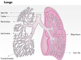 0514 Lungs Respiratory System Human Anatomy Medical Images For PowerPoint