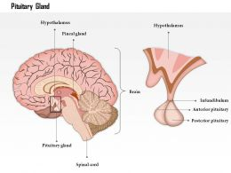 0514 Pituitary Gland Medical Images For Powerpoint