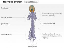 0514 Spinal Nerves Nervous System Medical Images For PowerPoint