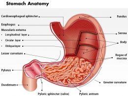 0514 Stomach Anatomy Medical Images For PowerPoint