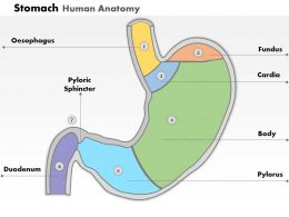 0514 Stomach Human Anatomy Medical Images for PowerPoint