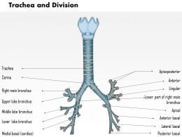 0514 Trachea And Divisions Medical Images For PowerPoint