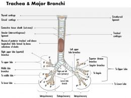 0514 Trachea And Major Bronchi Anterior View Medical Images For PowerPoint