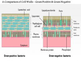 0614 A Comparison Of The Cell Walls Gram Positive And Gram Negative Medical Images For Powerpoint