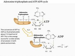 0614 Adenosine Triphosphate And ATP ADP Cycle Medical Images For Powerpoint