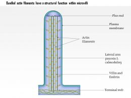 0614_bundled_actin_filaments_have_a_structural_function_within_microvilli_medical_images_for_powerpoint_Slide01