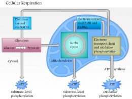 0614 Cellular Respiration Medical Images For PowerPoint