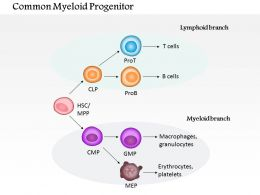 0614 Common myeloid progenitor biology Medical Images For PowerPoint