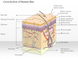 0614 cross section of human skin Medical Images For PowerPoint
