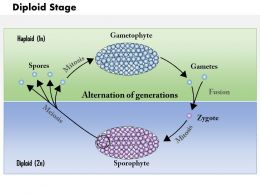 0614 Diploid Stage Medical Images For PowerPoint