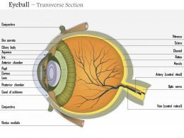 0614 Eyeball transverse section Medical Images For PowerPoint