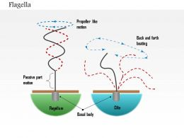 0614 Flagella biology Medical Images For PowerPoint