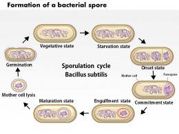 0614 Formation Of A Bacterial Spore By Bacillus Subtilis Medical Images For Powerpoint