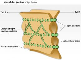 0614 Intercellular Junctions Tight Junction Medical Images For Powerpoint