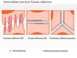 0614 Intercellular Junctions Zonula Adherens Medical Images For Powerpoint