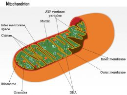 0614 Mitochondrion biology Medical Images For PowerPoint