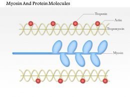 0614 Myosin And Actin Protein Molecules Medical Images For Powerpoint
