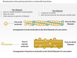 0614 Nonmuscle Actin And Myosin Have Contractile Functions Medical Images For Powerpoint