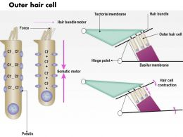 0614 Outer Hair Cell Medical Images For Powerpoint