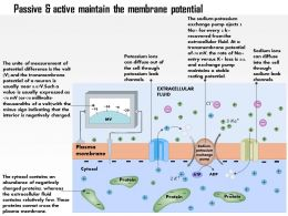 0614 Passive And Active Fluxes Maintain The Resting Membrane Potential Medical Images For Powerpoint