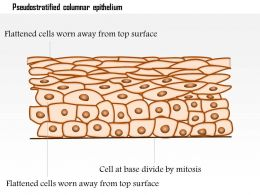 0614 Pseudostratified Columnar Epithelium Medical Images For Powerpoint