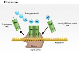 0614 Ribosome Medical Images For PowerPoint