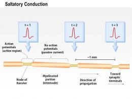 0614 Saltatory Conduction Medical Images For Powerpoint