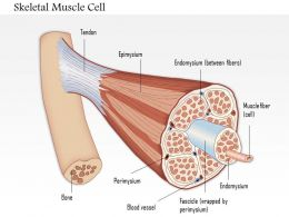 0614 Skeletal muscle cell Medical Images For PowerPoint