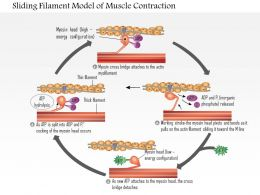 0614 Sliding Filament Model Of Muscle Contraction Medical Images For Powerpoint