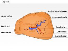0614 Spleen Immune Medical Images For PowerPoint