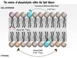 0614 The Motion Of Phospholipids Within The Lipid Bilayer Medical Images For Powerpoint