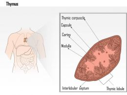 0614 Thymus Medical Images For PowerPoint
