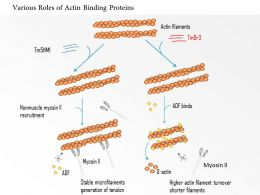 0614 Various Roles Of Actin Binding Proteins Medical Images For Powerpoint
