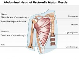 0714 Abdominal Head of Pectoralis Major Muscle Medical Images For PowerPoint