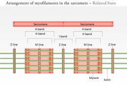 0714 Arrangement Of Myofilaments In The Sarcomere Medical Images For Powerpoint