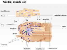 0714 Cardiac muscle cell 2 Medical Images For PowerPoint