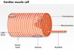 0714 Cardiac muscle cell Medical Images For PowerPoint