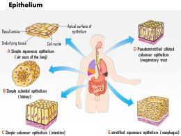 0714 Epithelium Medical Images For PowerPoint
