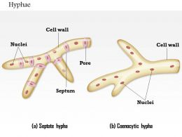 0714 Hyphae Medical Images For PowerPoint