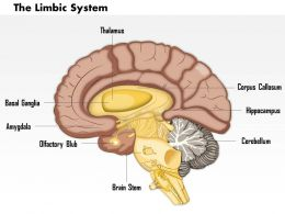 0714 Limbic System Medical Images For Powerpoint