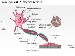 0714 Myelin Sheath And Node Of Ranvier Medical Images For Powerpoint