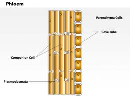 0714 Phloem Medical Images For PowerPoint
